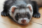 Ferrets scavenged Tb-infected possums and could become infected with the disease which made them