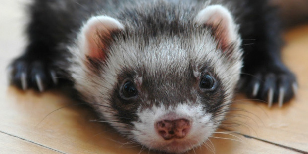 """Ferrets scavenged Tb-infected possums and could become infected with the disease which made them """"extremely important'' indicators of whether Tb was present in an area. Photo / Supplied"""