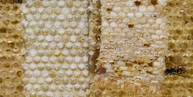 Hives with many frames of this crystallised sugar may lead to bee starvation. PHOTO/SUPPLIED