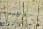 Willow poles  are an option for erosion control on farms.