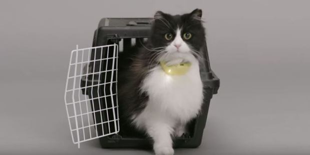 A moggy models the world's first talking cat collar. Photo / Temptations