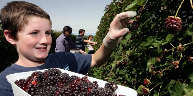Jacob Hanna, 11, picks boysenberries at Hanna Berry Farm, near Hastings. Photo / Paul Taylor
