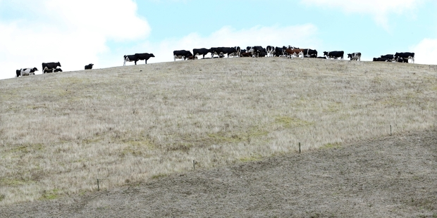 Past droughts have taught farmers how to cope better with extended dry periods. Photo / NZME