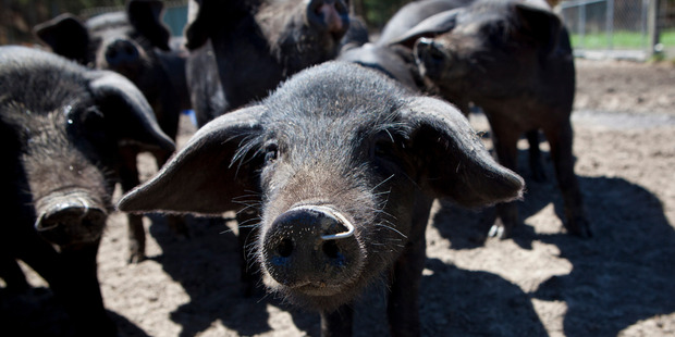 Now the awareness of cruelty in the pork industry is much higher and demanding cruelty-free pork farming is making progress. Photo / Mark Beatty