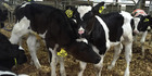 The scheme involves monitoring of calves throughout growth and puberty.