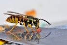 Wasps are not endemic to New Zealand and have a significant impact on the country's economy. Photo / Getty Images