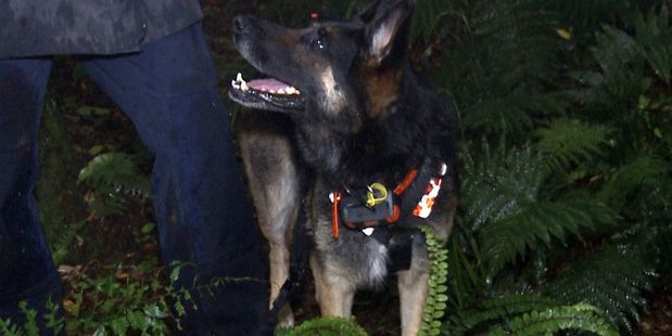 Search and Rescue dog Gemma helped find a lost couple in the Kaimai Range on the weekend. Photo/Supplied