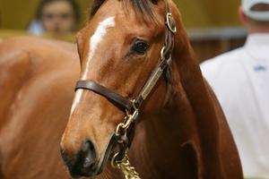 A son of boom sire Tavistock went for $170,000 at Karaka yesterday. Photo / Trish Dunell