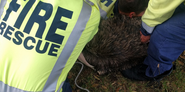 Underneath this mass of firefighters is an emu that had done a runner in Mangawhai.
