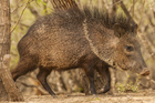 Javelinas or collared peccaries are native to Central an South America and in parts of southwestern North America. Photo / Getty