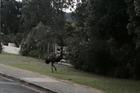 Just a random emu roaming the streets of Mangawhai. Photo / Facebook