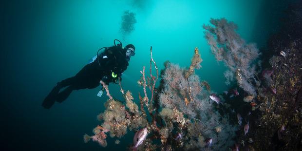 Debbie Freeman dives in a giant kelp forest. Photo / Vincent Zintzen
