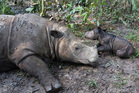 Ratu, a 14-year-old Sumatran rhinoceros, sits next to its newborn calf at Sumatran Rhino Sanctuary in Way Kambas. Photo / AP