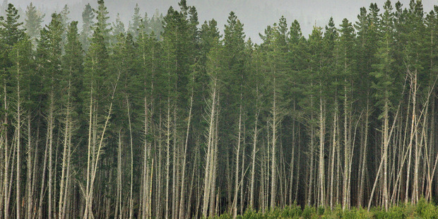 A pine forest near Mangakino in the central North Island. A loss of top soil to erosion could decrease forest productivity. Photo / File