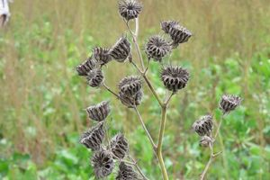The Ministry for Primary Industries wants Wairarapa farmers to be on the lookout for velvetleaf after the pest plant was this season found on two farms in the region. PHOTO/FILE