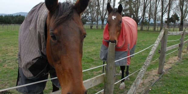 Horses from a Tauherenikau property JJ, left, and Annie jumped over a fence after being scared by a speeding Maserati. PHOTO/EMILY NORMAN