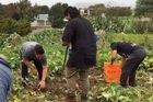 A Mangere marae has planted 80,000 kumara to try to wean its people off McDonald's and KFC.