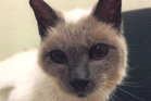 Scooter the Siamese cat did not live to enjoy the World Record title. Photo / AP