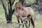 Australian officials say they are losing the battle against growing brumby numbers and needs new options for culling. Photo / Facebook