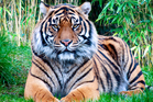 One of the latest losses was a rare Sumatran tiger that died unexpectedly last month. Photo / iStock