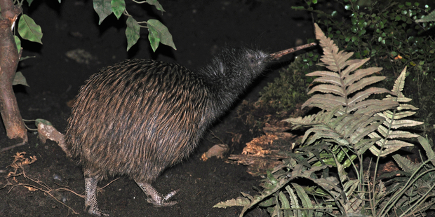 Battle for our Birds targets pest control to the most at-risk populations of native species, including the kiwi. Photo / iStock