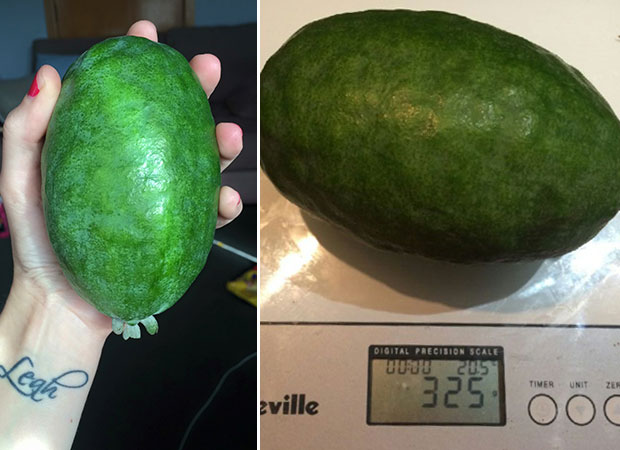 Lucy Hitchcock's 325g feijoa, grown in Hamilton. Photo / Lucy Hitchcock