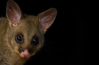 Possums love leaves packed with protein new research shows. Photo / iStock