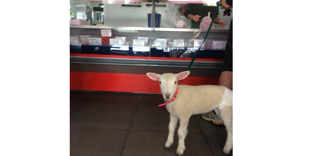"""Saw this funny sight in Torbay,"" writes a reader. ""A lady walking her lamb wearing a nappy into the local butcher. And she ordered lamb chops! The lamb's face is priceless."" Photo / Supplied"