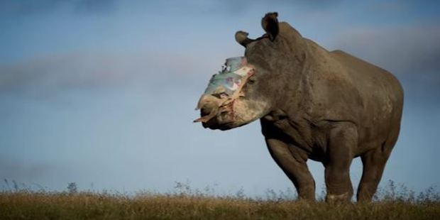 Eighty to 120 rhinos that are attacked each year in South Africa survive, but often with hideous injuries. Photo / via YouTube
