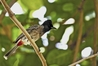 PEST: The red-vented bulbul is among the top 100 invasive organisms in the world.PHOTO/ANTON-CROOS