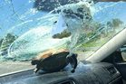 Motorist Nicole Bjanes walked away unhurt after a turtle was sent crashing through her windscreen as she drove on a Florida highway. Photo / Facebook