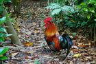 Rogue rooster: One of the feathered fiends evades the posse. Photo / Supplied