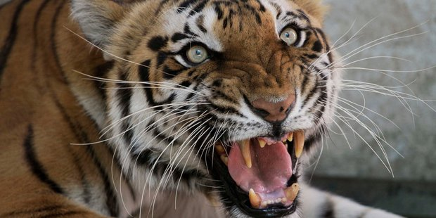 Two tigers escaped from a big cat shelter near a small Dutch village.