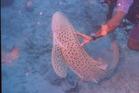 A nurse shark in Fiji. Photo / Herald