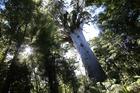 Kauri tree in Waipoua Forest. Photo / Michael Cunningham