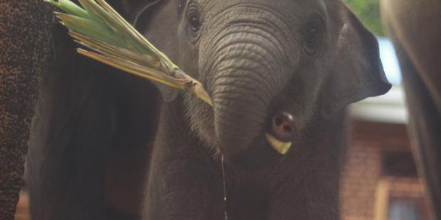 An elephant in North Sumatra.
