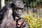 Chmpanzee Sanda with her three-month old baby chimpanzee named Chiku. Photo / Supplied via Hamilton Zoo