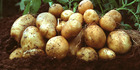 Is this bad news for potatoes?