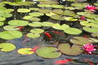 Goldfish pond. Photo/file