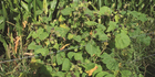 Velvetleaf is one of the latest weed problems cropping up.