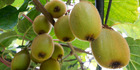 The kiwifruit industry is aiming for $3 billion in exports.