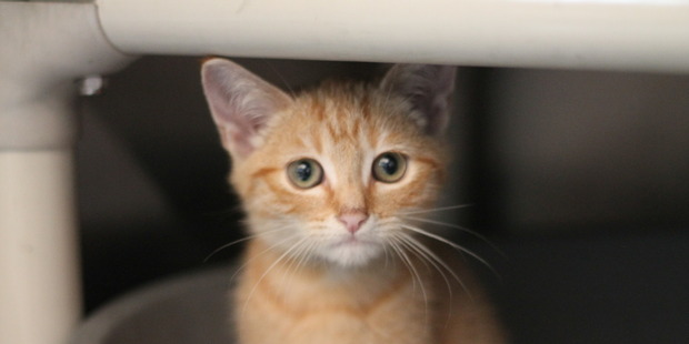 Hundreds of kittens coming into the SPCA each week need to find homes. Photo / SPCA