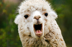 The duvets were found to be neither made in NZ or containing alpaca. Photo / iStock
