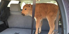 This bison calf, which two tourists drove to a ranger station in Yellowstone National Park because they thought it looked cold, was rejected by its herd and had to be euthanised. Photo / Supplied