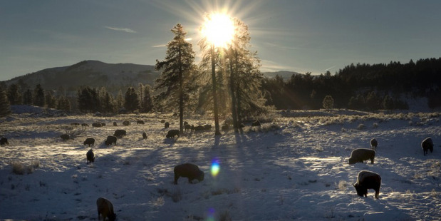 A herd of bison feed near Tower Junction in Yellowstone National Park. Photo / Erik Petersen for The Washington Post.