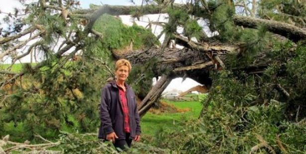 Wendy Dudek with the large tree ripped from the ground when a mini-tornado swept through her Bay property. Photo/John Borren