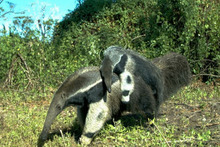 A young giant anteater rides on its mother in the Brazilian Pantanal. Photo / LFB Oliveira, GS Hofmann & IP Coelho