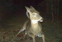 This deer was chomping on apples when it became startled. Photo / Hailey and Logan Lehrer.
