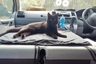Willow the rescue cat prefers to sleep while her owner drives. Photo / VanCatMeow