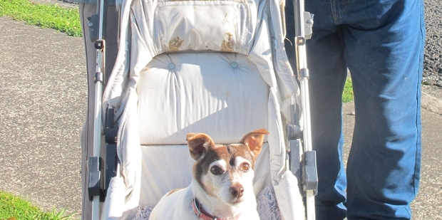 WALKIES TIME: Diddly the 16-year-old fox terrier-Jack Russell cross goes for a walk in her pushchair.